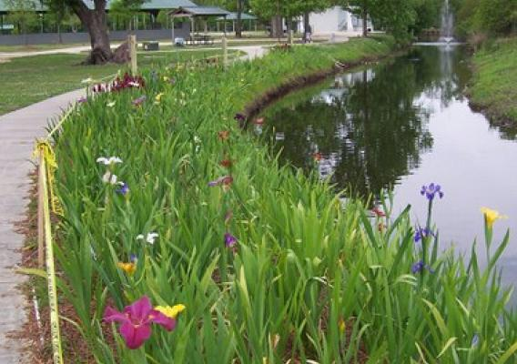 Louisiana irises are North American native wildflowers that have the widest color range of all types of irises including blue, white, red and yellow forms. Photo: Keep Slidell Beautiful ©