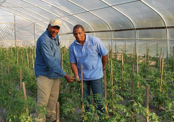 l-r:  Earl Snell and James Currington inspect the tomatoes growing in Snell's hoop house.