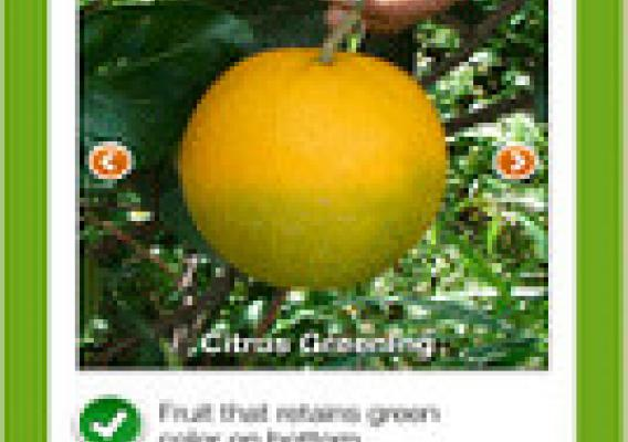 The new mobile app will ask questions to help identify and report citrus diseases.