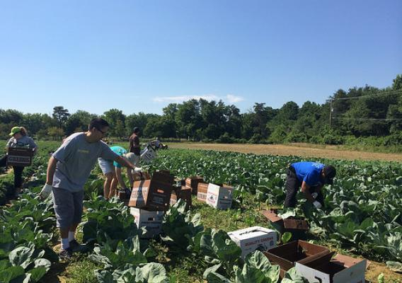 USDA volunteers harvest food for a local food bank during a gleaning event in Clinton, MD.