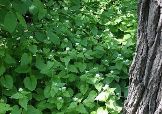 An example of the invasiveness of the garlic mustard plant.  (Photo credit: Steven Katovich, U.S. Forest Service)
