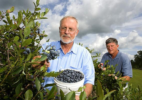 Picking blueberries in Mississippi.