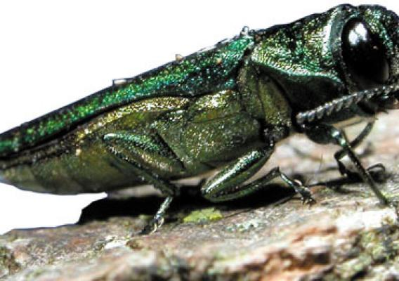 : Since its discovery in 2002, the emerald ash borer has killed tens of millions of ash trees in 13 states. (U.S. Forest Service photo)