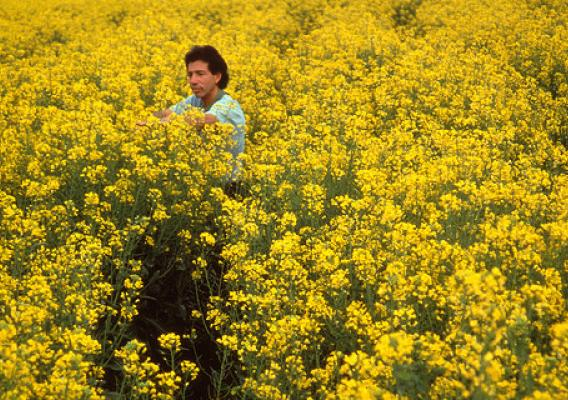 Soil scientist Gary Bañuelos evaluating canola plants