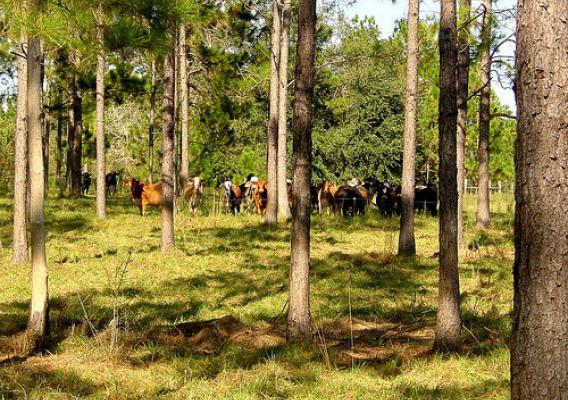 Livestock in a forest