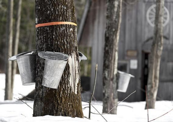 Maple syrup collection in a sugar bush. NIFA grants support camps that allow tribal youth to experience cultural tradition while learning about plant science. (iStock image)