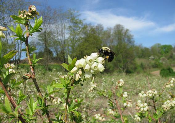 A blueberry bush with a bumblebee