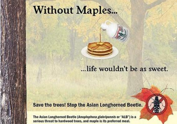 MDAR Maple ALB Poster