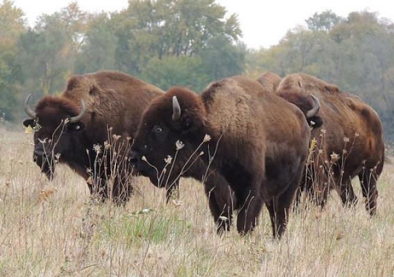 Bison on the Midewin National Tallgrass Prairie
