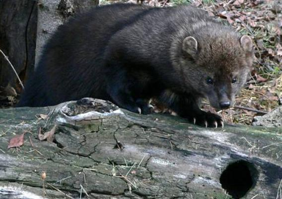 Rat poison used on illegal marijuana farms pose a threat to fishers (pictured) and other forest animals.