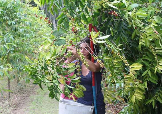 The company prides itself on handpicking all of its coffee cherries. (Photo credit: Hawaii Exports International)