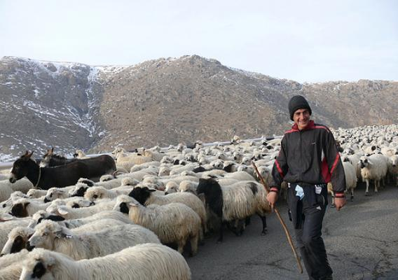 A man moves his family's sheep herd down from the mountains for the winter. These sheep are one of many herds of sheep and cattle that will pass by the FVSC on their seasonal herd movements around Armenia and benefit from the center.  Photo credit: Elizabeth Leonardi (USDA/FAS) and Gocha Shainidze (USDA/FAS Georgia)