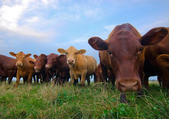 The USDA organic label on dairy or meat products means that the animals from which it originated were raised in living conditions that accommodated their natural behaviors, without being administered hormones or antibiotics, and while grazing on pasture grown on healthy soil.  Photo by Ryan Thompson.