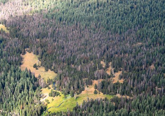 Mountain pine beetle has damaged more than 2 million acres of lodgepole pine forest. This shows tree loss on the Klamath National Forest in California. (U.S. Forest Service/Zachary Heath)