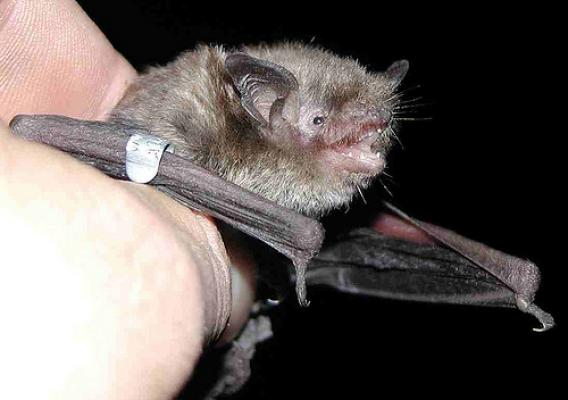Indiana bats, such as this one, are part of a monitoring program on the Monongahela National Forest in West Virginia. The bats are fitted with a radio transmitter and tracked to roosting locations throughout the life of the transmitter. (U.S. Forest Service)