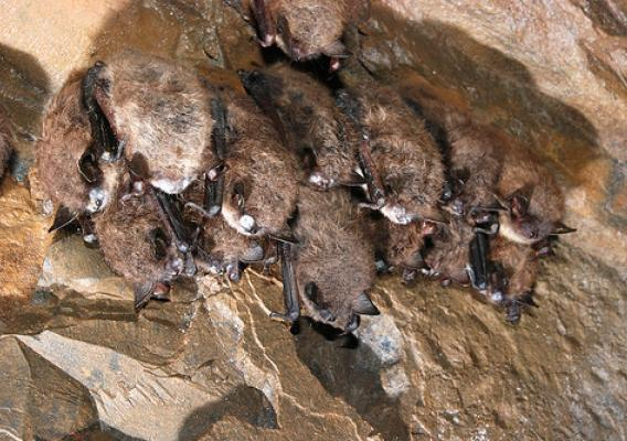 Little brown bats, like these found in a cave in Maine in 2013, are increasingly being found with white-nose syndrome. The U.S. Forest Service is researching many angles to help wildlife managers and the public to combat the disease. (U.S. Fish and Wildlife Service)