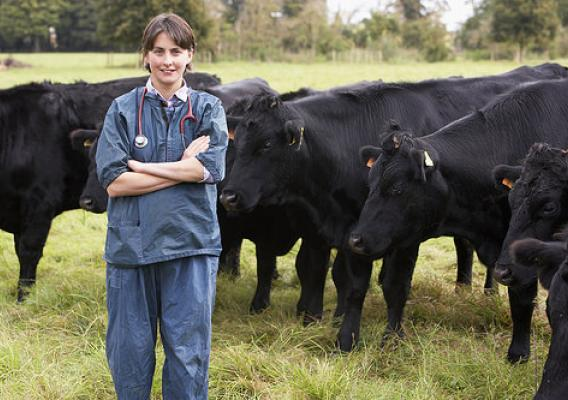 A veterinarian in field with cattle