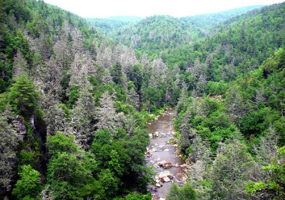 Gray ghosts are a common sight in the southern Appalachians. A hemlock woolly adegid infestation has killed many hemlock trees in the Linville Gorge area of Pisgah National Forest in North Carolina. (U.S. Forest Service/Steve Norman)