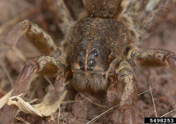 Wolf spiders are robust and agile hunters with excellent eyesight. They live mostly solitary and hunt alone. (Bugwood.org/Joseph Berger)