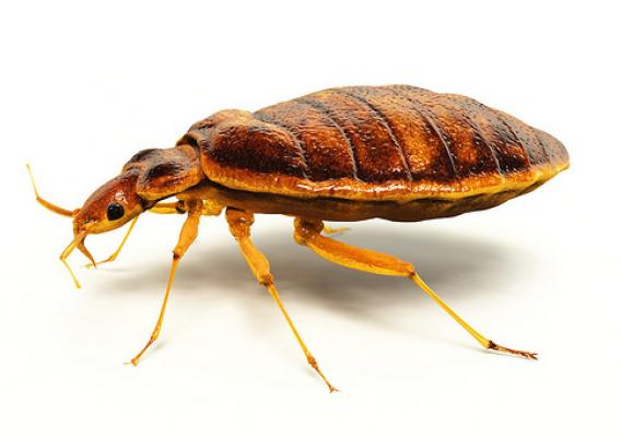 Bed bug infestations are becoming more common and are extremely difficult to control. (stock photo)