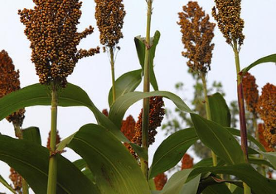 Research suggests that sorghum can be beneficial as both a fuel source and as a sinkhole for greenhouse gas. (iStock image)