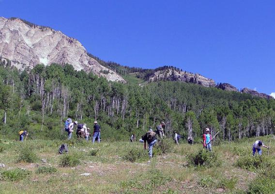 Volunteers armed with shovels and picks remove clusters of houndstongue from a high elevation meadow in the Raggeds Wilderness on the Gunnison and White River National Forests. (U.S. Forest Service/Dan Gray)