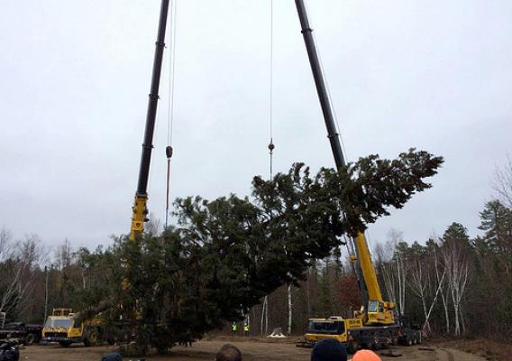 About 500 people attended the tree-harvesting ceremony to watch the 88-foot, 13,000-pound Minnesota spruce chosen as the 2014 U.S. Capitol Christmas Tree. The Chippewa National Forest is donating the tree, often referred to as the People's Tree. The tree-lighting ceremony is scheduled for Dec. 2. (U.S. Forest Service)