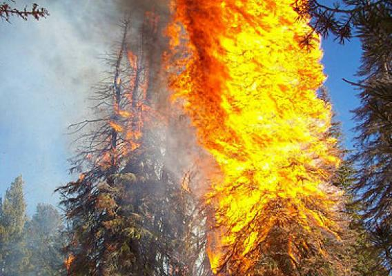 A pine burns with snow on the ground on the Boise National Forest (Photo Credit: US Forest Service)