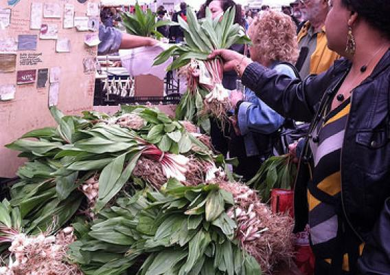 Ramps for sale at a local market. All parts of the plant are edible. Photo credit: Jim Chamberlain.