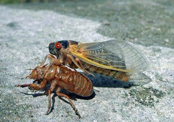 The adult periodical cicada emerges from its 17-year nymph stage, molts and arises as a winged adult. This spring will see the return of the large, colorful, fly-like bugs with large eyes and tented wings. (U.S. Forest Service photo/ Bob Rabaglia)