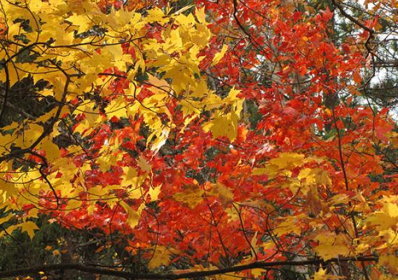 Maples show a variety of colors on the Superior National Forest. Photo: Steve Robertsen, District Interpreter, Tofte Ranger District of the Superior National Forest