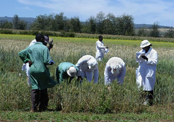 Researchers in Njoro, Kenya, evaluating wheat for resistance to Ug99 in October 2005.
