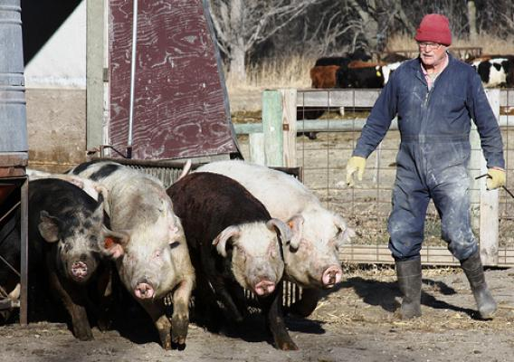 Jim VanDerPol get his pigs ready for market on his Pastures A Plenty farm in Kerkhoven, Minn.