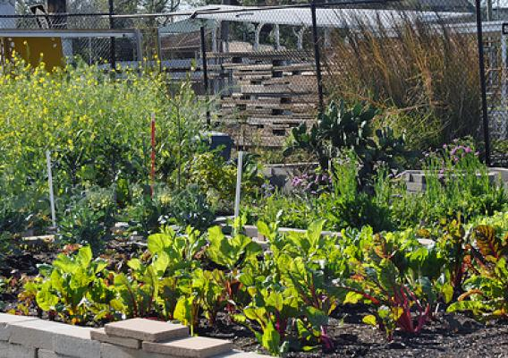 Vegetables growing in raised beds at Hollygrove Market and Farm (HGMF) in New Orleans, LA