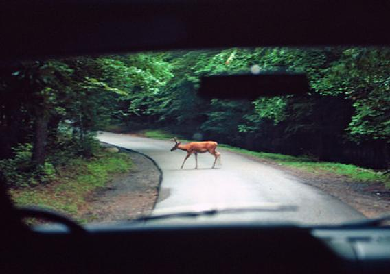A deer crosses a rural road. Deer are often on the move in the fall and early winter, especially at dusk. (USDA Agricultural Research Service/Charles T. Bryson_Bugwood.org)