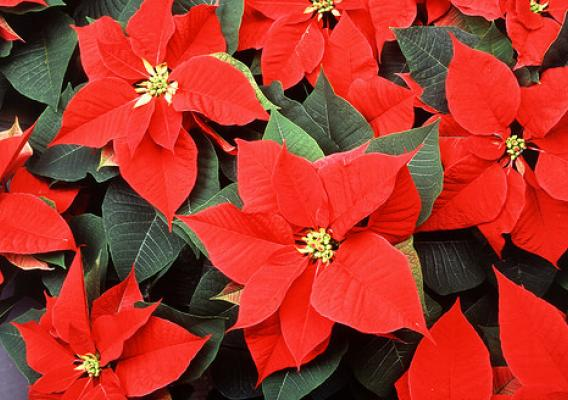 How much do you know about this iconic plant that brightens lots of homes this time of year?
