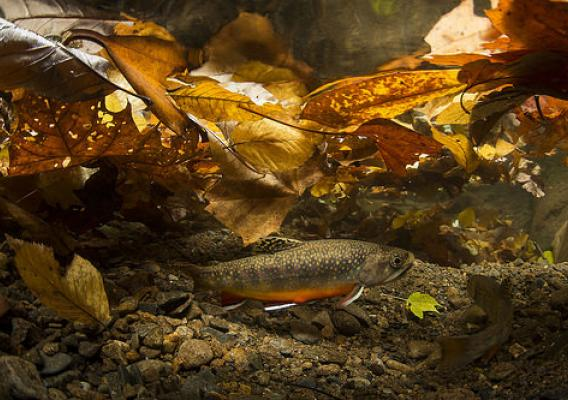 Southern Appalachian Brook Trout spawn in the Fall when brightly colored males court females, who dig nests known as redds in clean streambed gravels. (Copyright photo courtesy Freshwaters Illustrated/Dave Herasimtschuk)