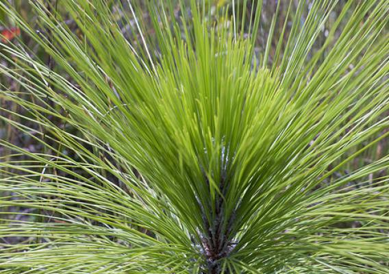 Longleaf pine is resistant to pests and disease, withstands drought and provides habitat for a host of wildlife. NRCS photo by Renee Bodine.