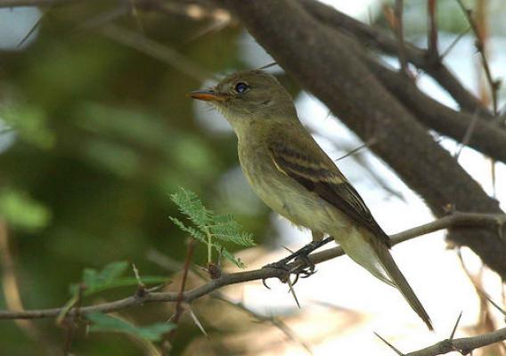 The Southwestern willow flycatcher is an endangered bird that lives in the riparian areas of the Southwest. Photo courtesy of U.S. Fish and Wildlife Service.