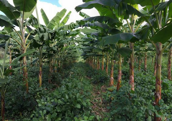 Plantains growing in Gurabo, Puerto Rico