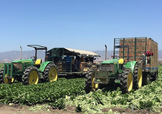 Romaine harvest in California