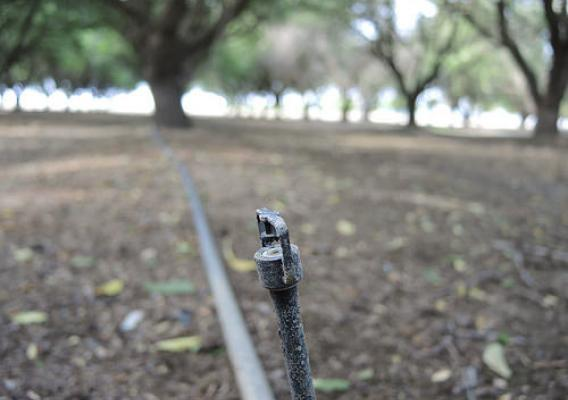 Micro-sprinklers in a mature almond orchard