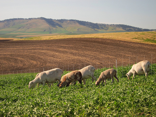 Mixed Crop Livestock Systems Changing The Landscape Of Organic Farming In The Palouse Region Usda
